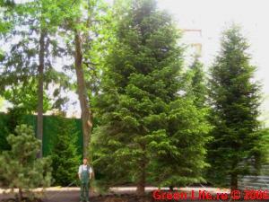 Крупномерные деревья