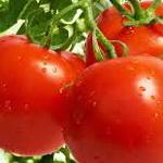 чем болеют помидоры (томаты)