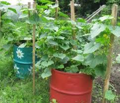 выращиваем огурцы в бочке