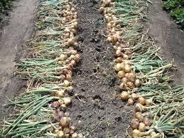 зрелость овощей