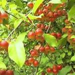 Яблоня Добрыня фото