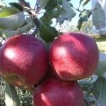 Яблоня Джонаред (Джонатан Ред) фото