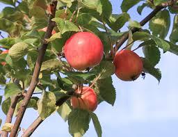 Яблоня Горноалтайское фото