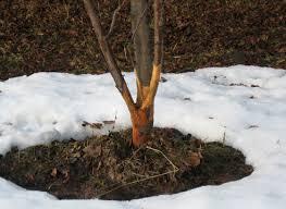 деревья поврежденные грызунами