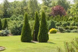 Использование хвойных растений для украшения газона