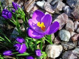 цветы среди камней