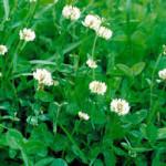 бобовые газонные травы
