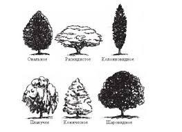 типы кроны дерева