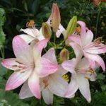 лилия садовая фото