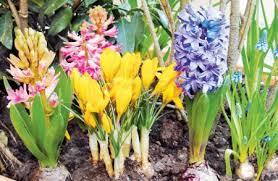 луковичные цветы фото