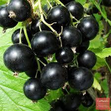 Черная смородина Миасская чёрная