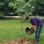 Подкормка фруктовых деревьев и ягодных кустов