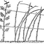 подвязывание малины