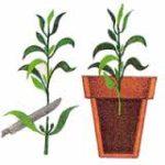 размножение комнтаных растений фото