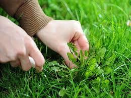 боремся с сорняками на газоне