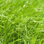 однолетние газонные травы