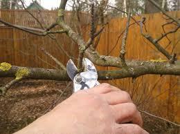 обрезка подмороженного дерева