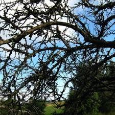 обрезка запущенного дерева